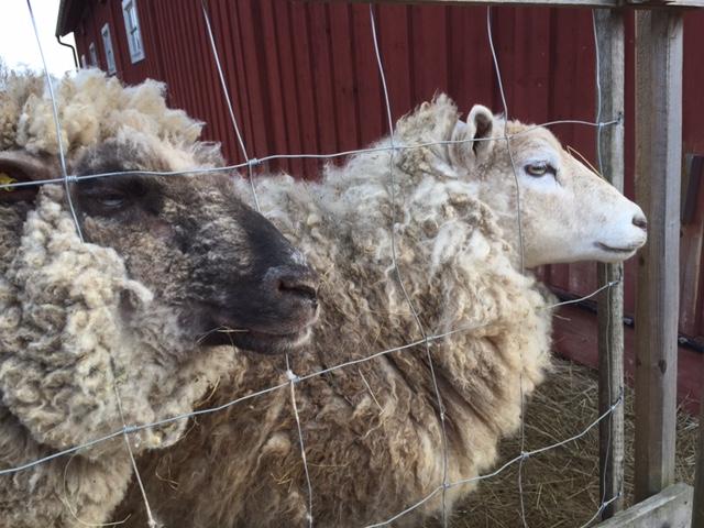 fåren
