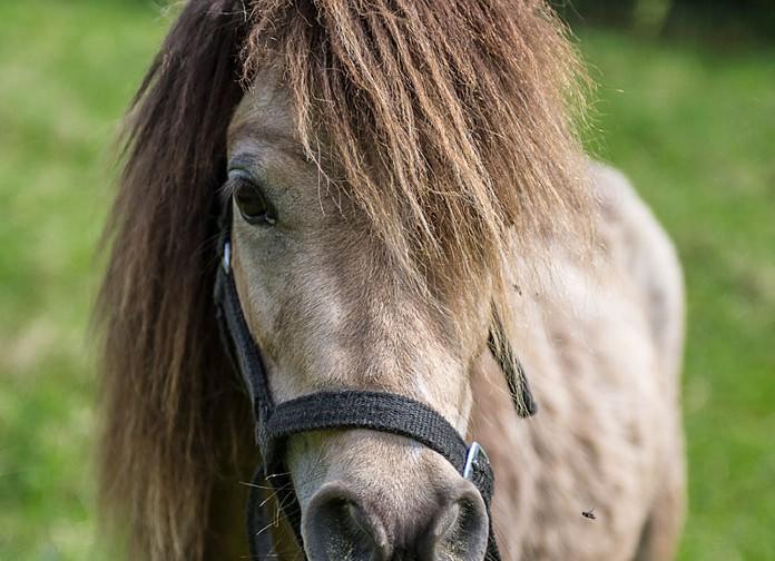 Amerikansk miniaturhäst